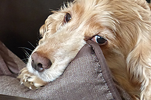 Rubys Spot - Ruby dog lying with head hanging over sofa